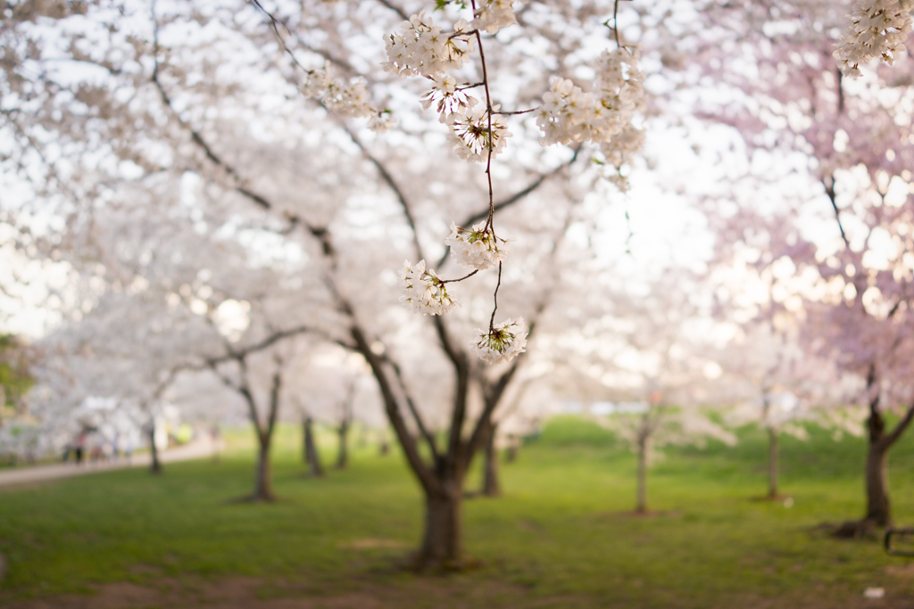 4-11DcBlossoms_0051