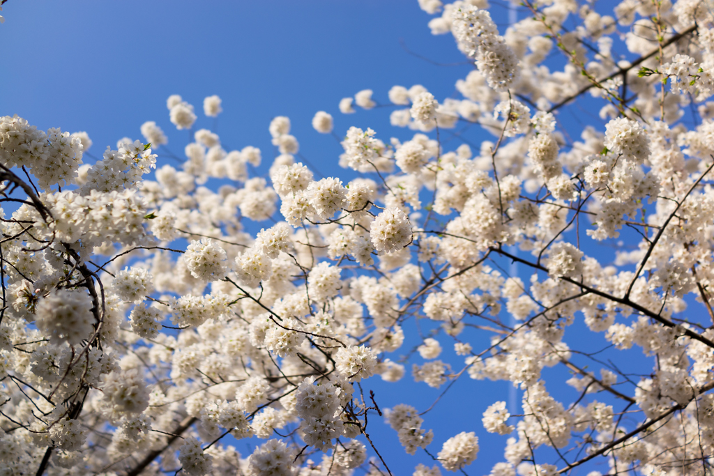 4-11DcBlossoms_0112