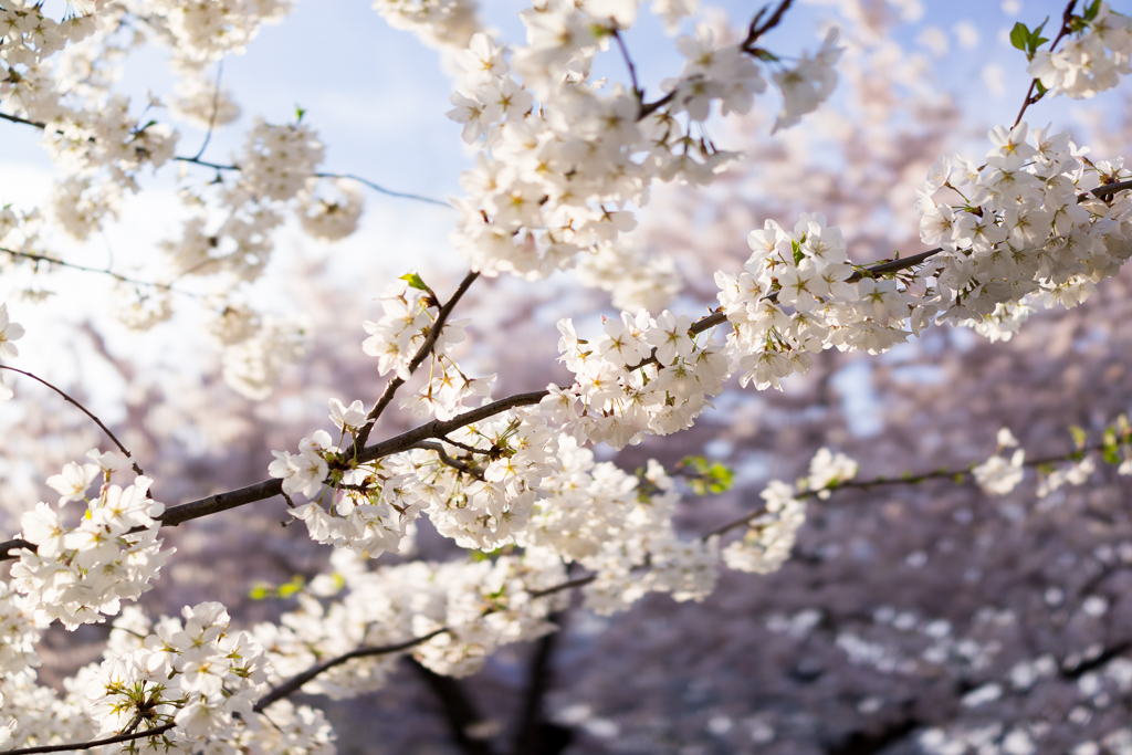 4-11DcBlossoms_0114